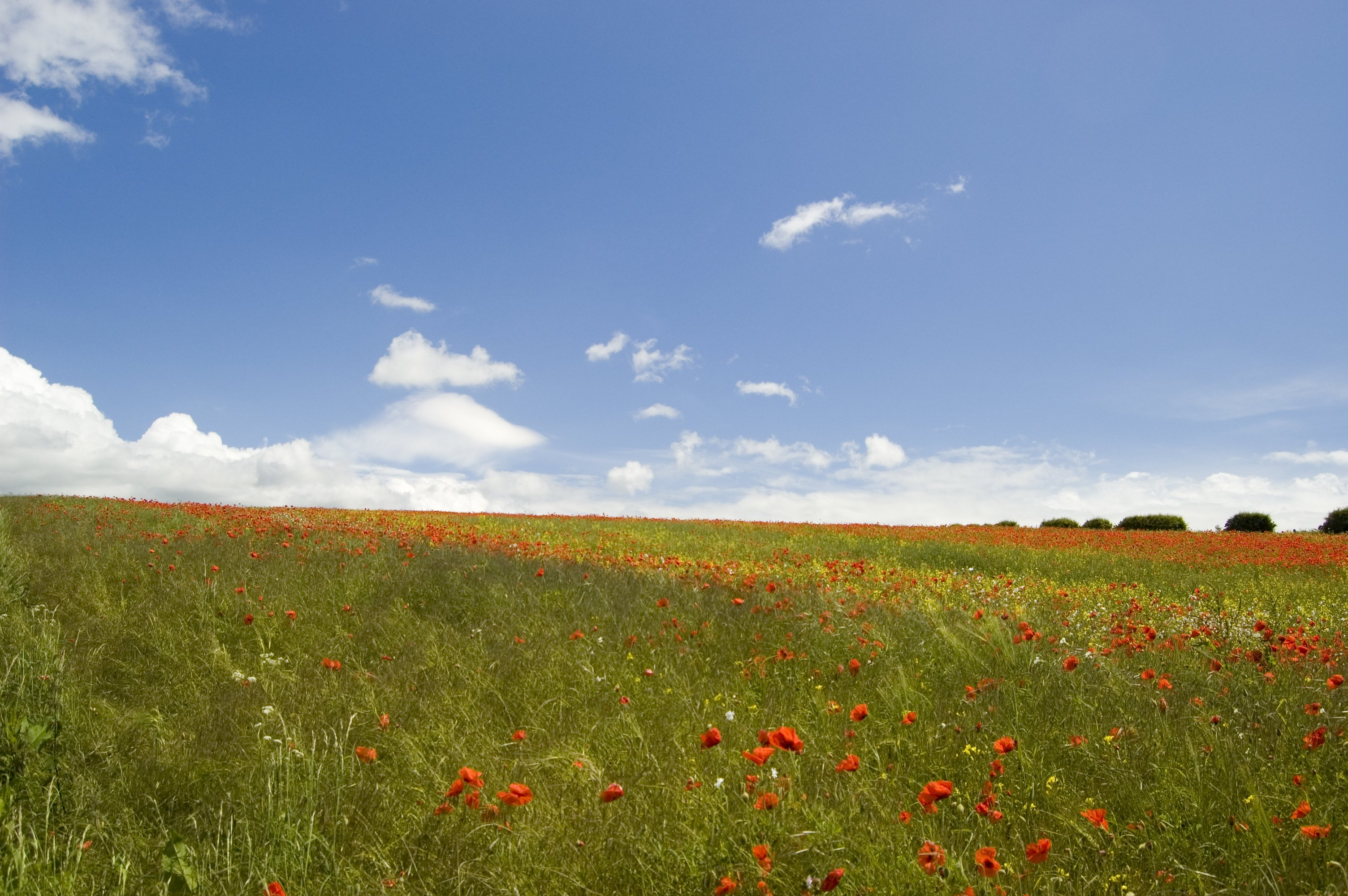 Poppies on the Yorkshire Wolds