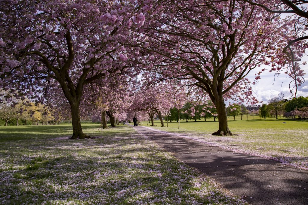 Ornamental Cherry Trees, Harrogate