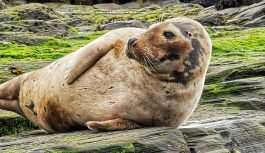 The Seal Colony at Ravenscar