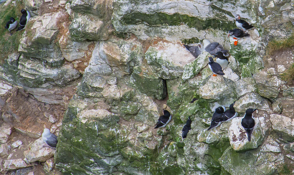 Puffins and other seabirds